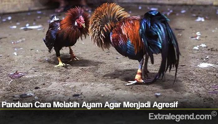 Panduan Cara Melatih Ayam Agar Menjadi Agresif