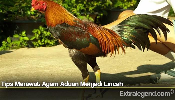Tips Merawat Ayam Aduan Menjadi Lincah