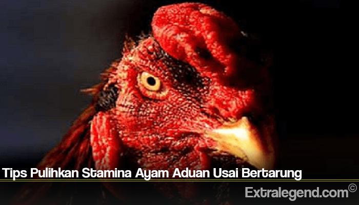 Tips Pulihkan Stamina Ayam Aduan Usai Bertarung